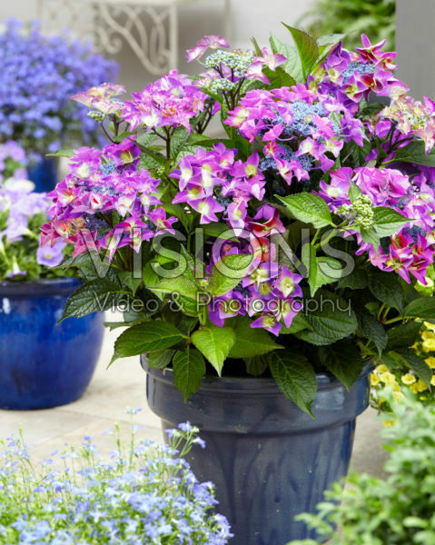 Hydrangea macrophylla Shining Angel® blue