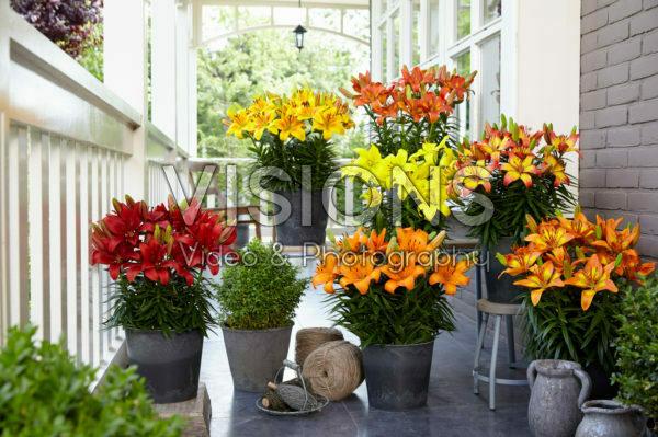 Lilium Fall Joy collection