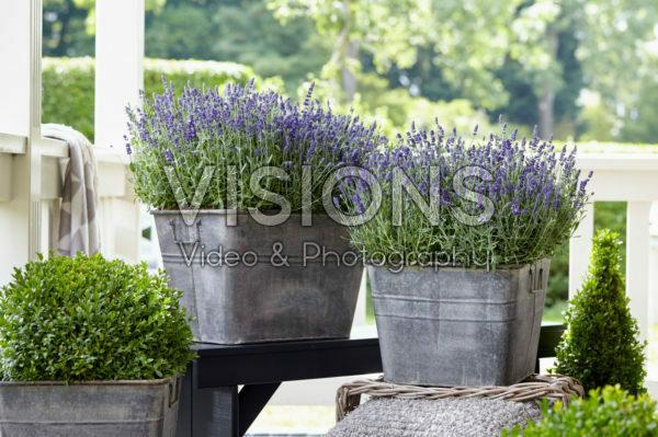 Lavandula angustifolia Ardèche