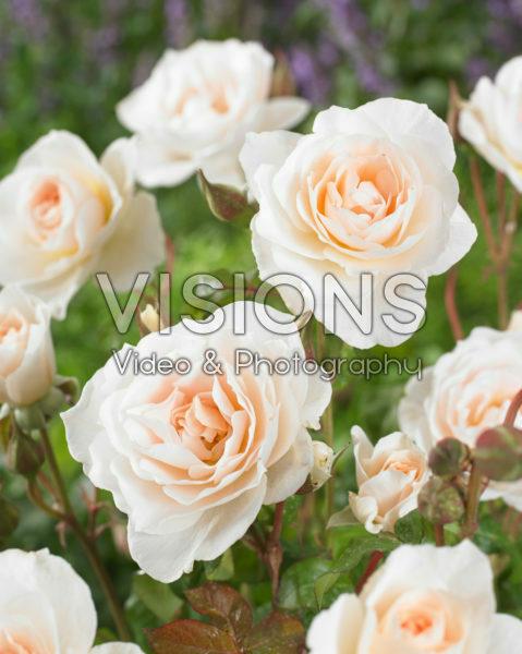 Rosa Sweet Blondie