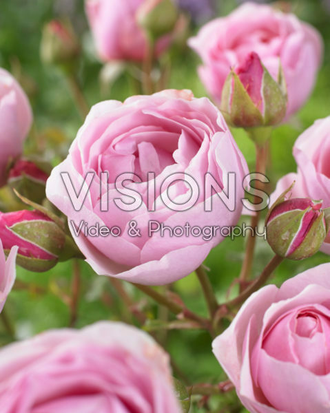 Rosa Princess Clair of Belgium
