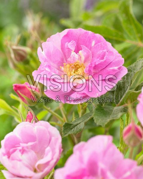 Rosa Mariage Parfait