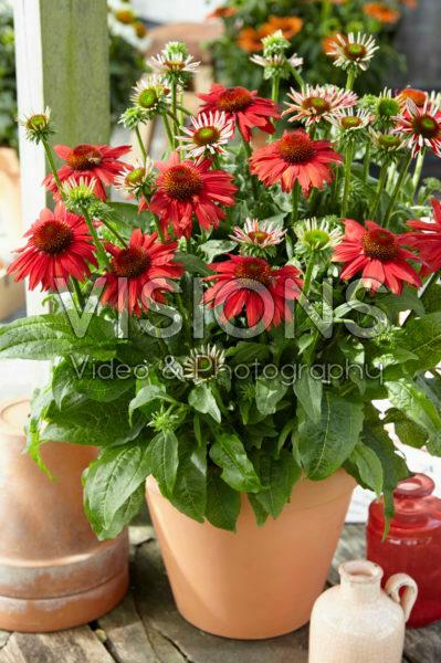 Echinacea Sombrero Red