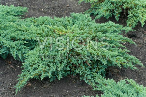 Juniperus squamata Little Joanna