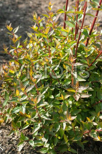Abelia x grandiflora Sherwood