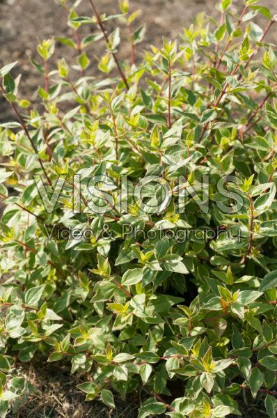 Abelia x grandiflora Lucky Lots
