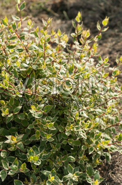 Abelia x grandiflora Sparkling Silver