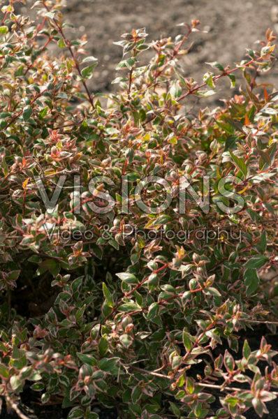 Abelia × grandiflora Magic Daydream