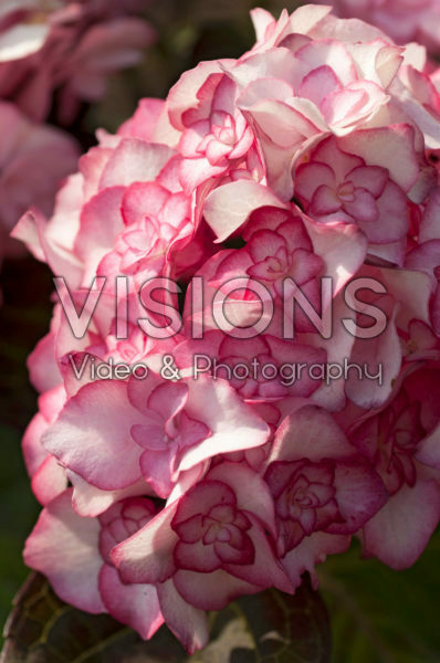 Hydrangea macrophylla Miss Saori®