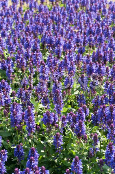 Salvia nemorosa Blue Marvel