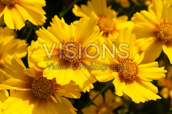 Coreopsis KA-POW ® Golden Yellow