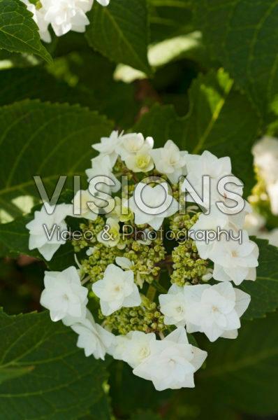 Hydrangea macrophylla Doppio Azzuro