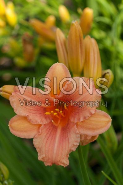 Hemerocallis EveryDaylily™ Pink Wing®