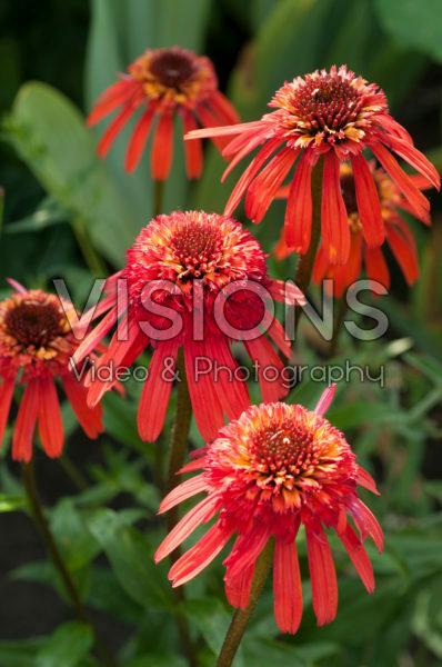 Echinacea Summer Salsa ®