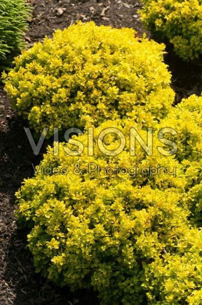 Berberis thunbergii Tiny Gold®