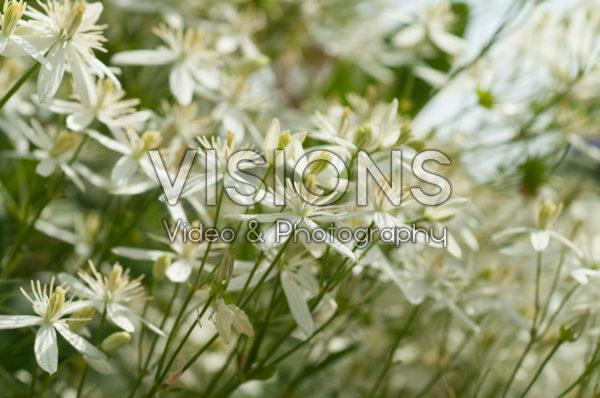 Clematis mandshurica