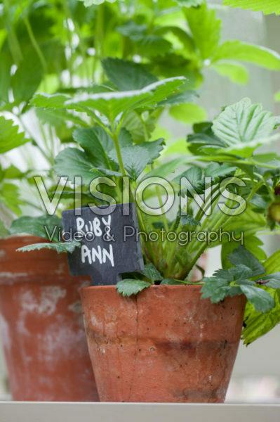 Fragaria x ananassa Ruby Ann