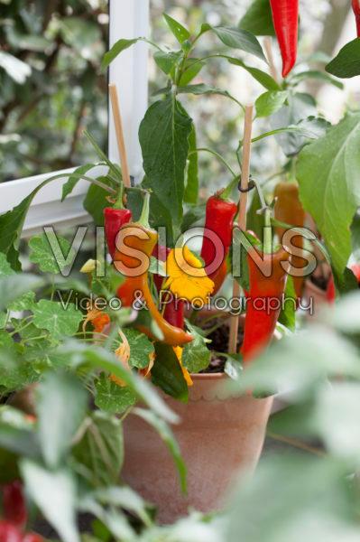 Chili pepers