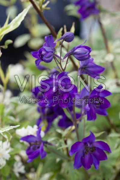 Delphinium paars