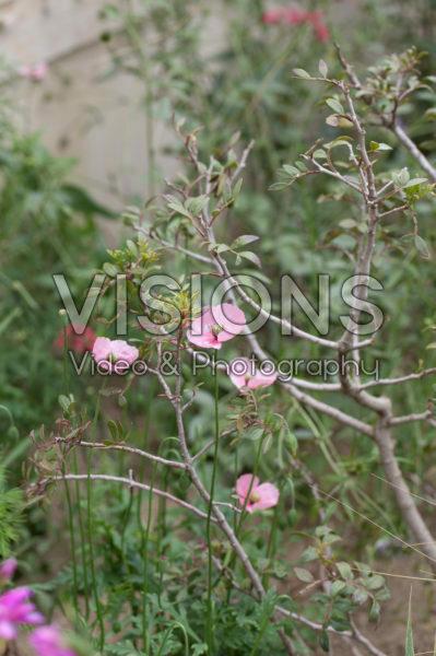 Papaver dubium ssp. lecoqii var. albiflorum
