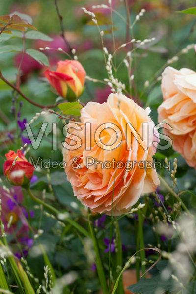 Rosa Lady of Shalott, Melica altissima alba