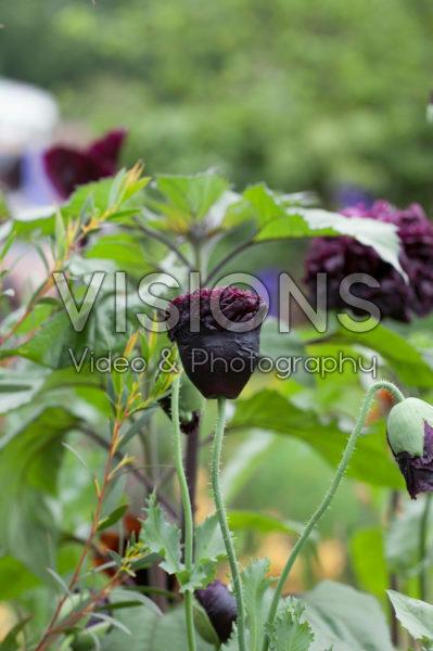Papaver somniferum Black Peony