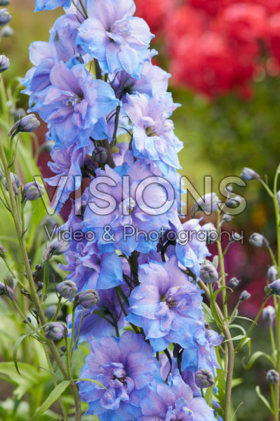 Delphinium Blue Power