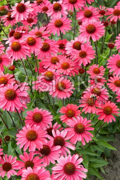 Echinacea Sensation Pink