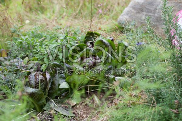 Cichorium intybus var. foliosum