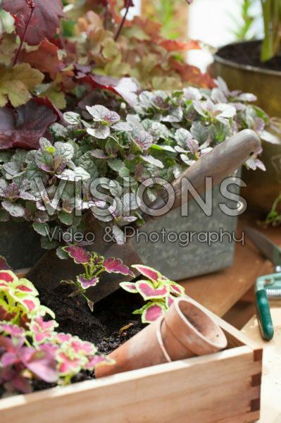 Coleus seedlings