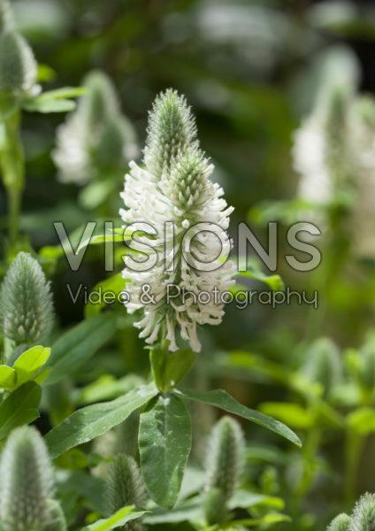 Trifolium rubens Frosty Feathers