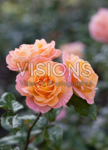 Rosa Rosemary Harkness ®