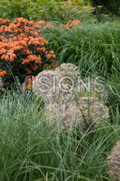 Alstroemeria Indian Summer®