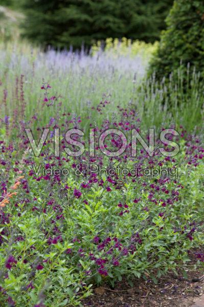 Salvia microphylla Maroon
