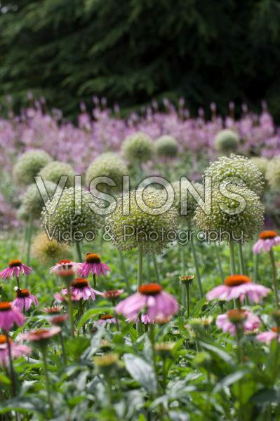 Allium, Echinacea