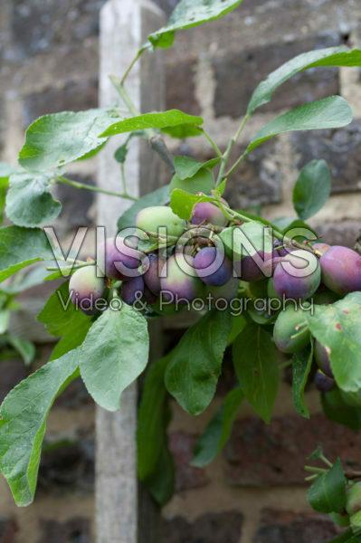 Prunus domestica The Czar