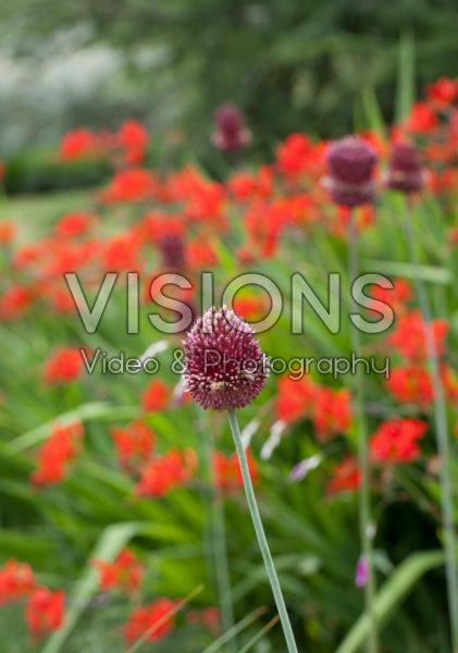 Allium Red Mohican