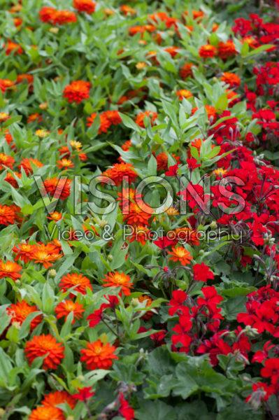 Pelargonium Caliente Dark Fire, Zinnia marylandica Double Zahara Fire