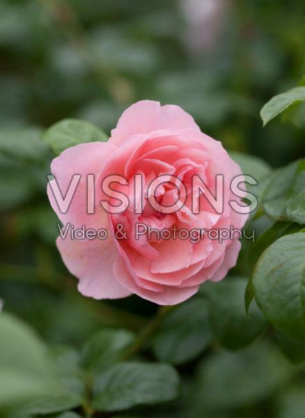 Rosa Duchesse d'Angouleme
