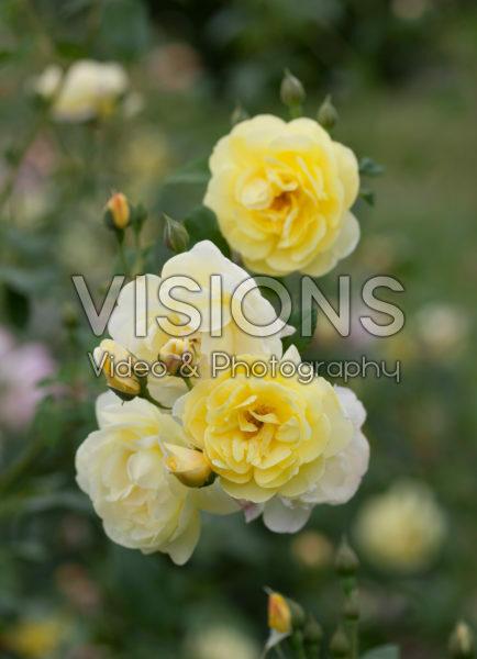 Rosa Blythe Spirit
