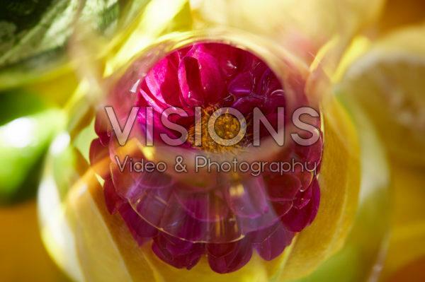 Dahlia in glass