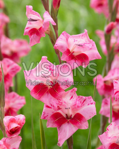 Gladiolus tubergenii Bibi