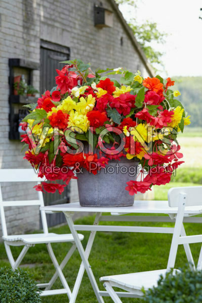 Begonia Cascade® yellow, orange and pink