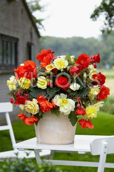 Begonia Odorosa® Red Sunset, Yellow Flame