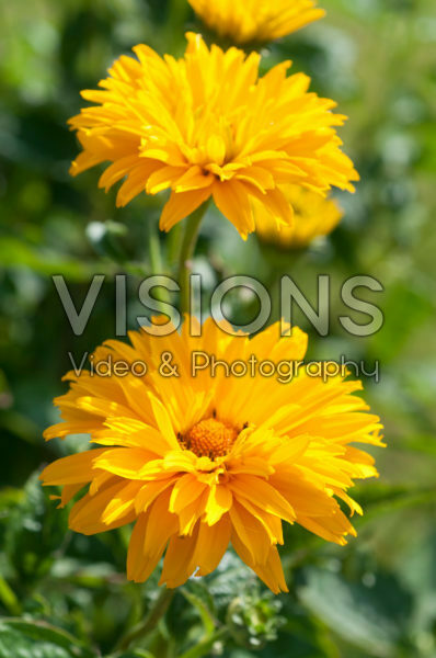 Heliopsis helianthoides Bressingham Doubloon