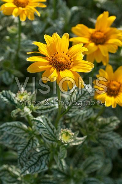 Heliopsis helianthoides Loraine Sunshine
