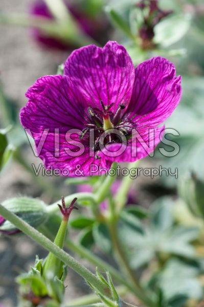 Geranium Jolly Jewel Purple ®