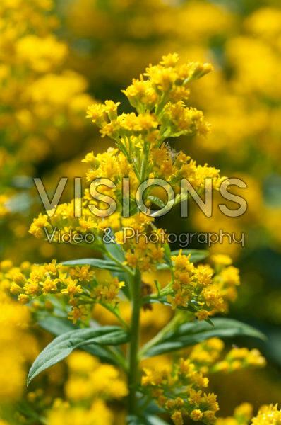 Solidago Yellow Surprise