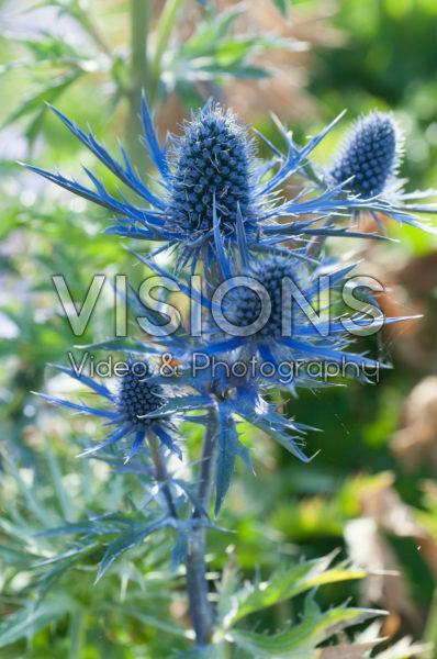 Eryngium x zabelii Big Blue