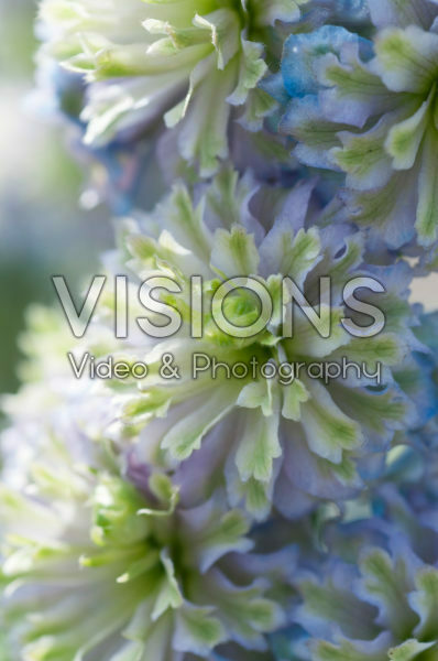 Delphinium Highlander® Crystal Delight